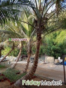 Coconut palm tree 0582662554 (Cocos nucifera palm) in UAE