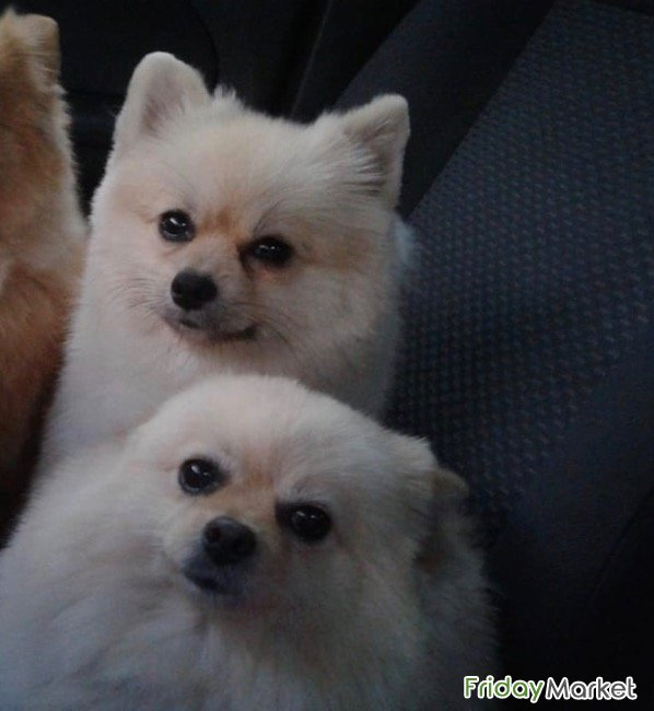 Male And Female Pomeranian For Dale Dubai UAE