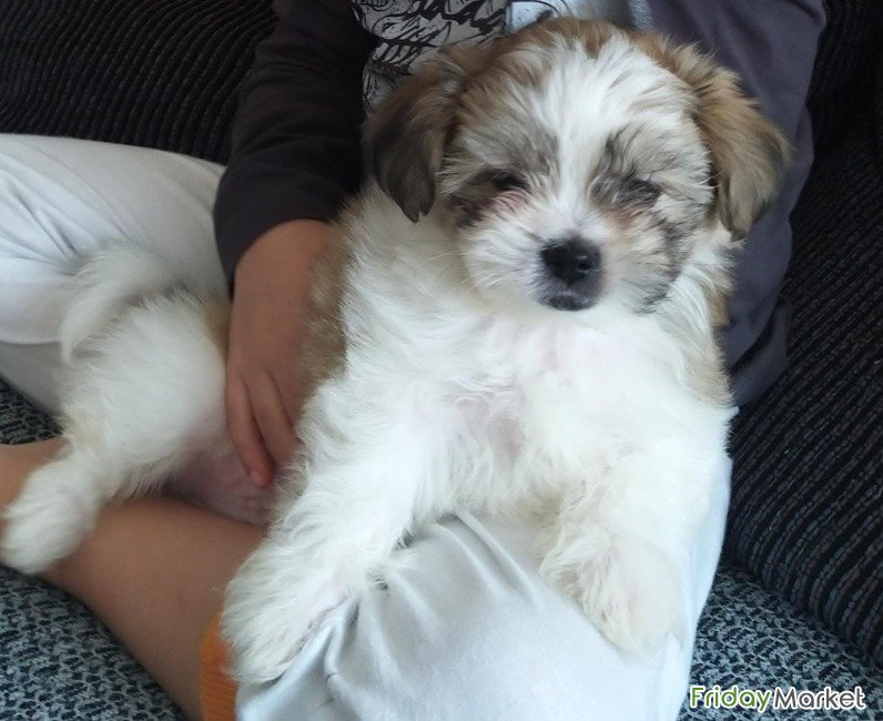Shih Tzu Dog, Pure Breed, 2.5 Months, Smart, Very Active And Friendly. Sharjah UAE