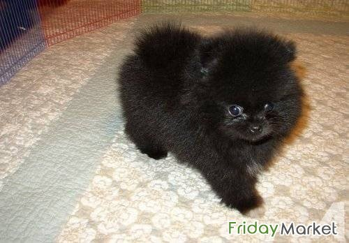 Teacup Pomeranian Puppy For Sale Dubai UAE