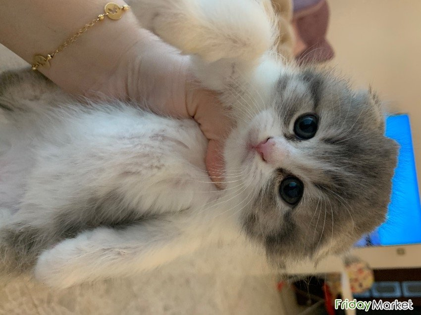 Scottish Fold Kitten Looking For New Home Abu Dhabi UAE